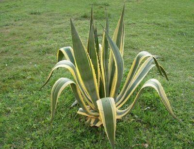 agave variegata